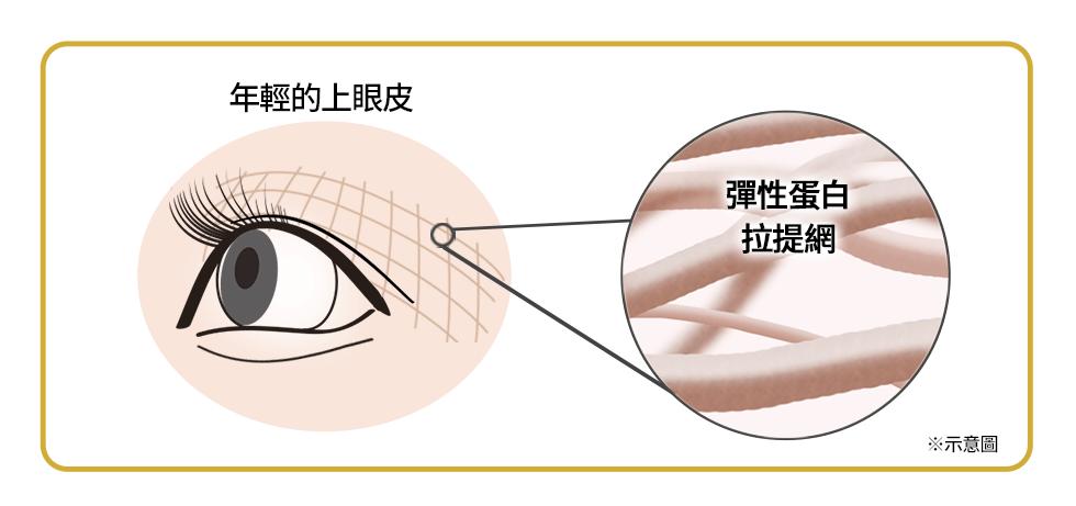 年輕的上眼皮 彈性蛋白拉提網